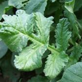 白萝卜叶(Radish Leaves)