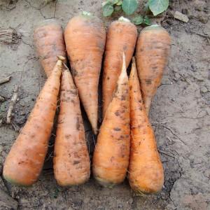 胡萝卜(Carrot)
