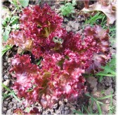 紫叶生菜(Red Wave Lettuce)