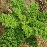 羽衣甘兰(Kale)