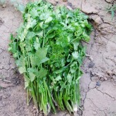 香菜(Coriander)