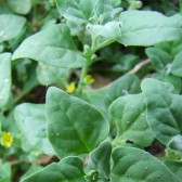 蕃杏(New Zealand spinach)