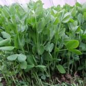 豌豆苗(Pea sprout)