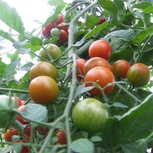 小西红柿(Cherry Tomato)