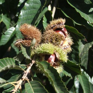 精选板栗(Fresh Chestnuts)