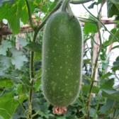 小嫩冬瓜(Fresh Winter Melon)