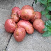 红皮土豆(Red-skin Potatos)