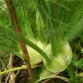 球茎茴香(Fennel Root)
