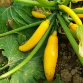 黄西葫芦(Yelow Summer Squash)