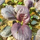 紫油菜(Purple bokchoi)