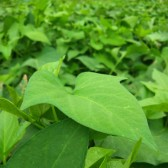 蕃薯叶(Sweet Potato Leaves)