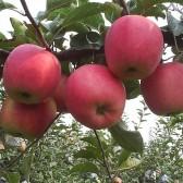 酵素富士苹果(Fuji apple)