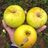 黄香蕉苹果(Yellow apple)
