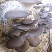 有机小平菇(White mushroom)