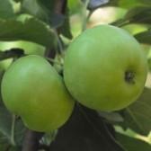 高山青苹果(Mountain  apple)