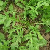 精品芝麻菜(Arugula)